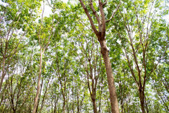 Rubber tree in thailand Royalty Free Stock Photography