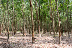 Rubber tree in thailand Stock Photo