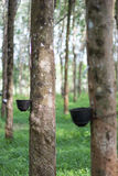 Rubber tree. S that produce things made of rubber Royalty Free Stock Photo