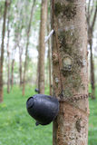 Rubber tree. S that produce things made of rubber Stock Photos