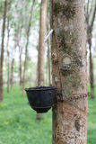 Rubber tree. S that produce things made of rubber Stock Images