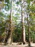 Rubber tree in Wat lum-duen Stock Photo