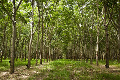 Rubber trees. The rubber trees background, Thailand Royalty Free Stock Photo