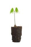 rubber trees Arkivfoto