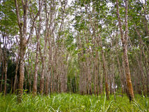 Rubber trees. Royalty Free Stock Photos