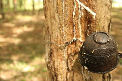rubber trees Arkivbild