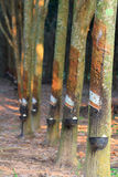 Rubber trees. And equipment for put milk Stock Images