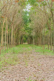 Rubber trees. Royalty Free Stock Image