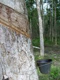 Rubber Trees 3. One of the process of collecting rubber Stock Photo