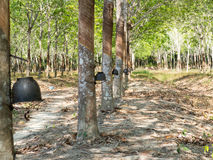 Rubber trees stock foto