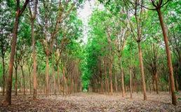 Rubber trees Stock Afbeelding