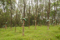Rubber trees. A beautiful scenery of rubber trees(forest Royalty Free Stock Images