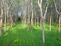 Rubber trees in daylight. Rubber trees in southern of Thailand Royalty Free Stock Images
