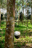 Rubber trees farm. Getting the raw rubber from rubber tree - rubber trees farm Royalty Free Stock Photos