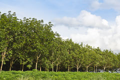 Rubber trees forest Royalty Free Stock Photography