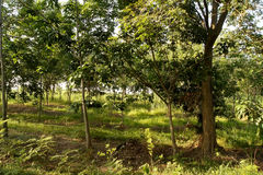 The rubber trees forest grass was covered Stock Photos