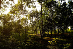 The rubber trees forest grass was covered Royalty Free Stock Photo