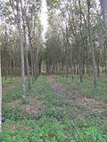 Rubber trees in the garden stock photography
