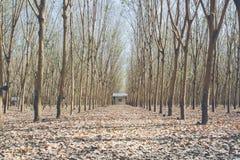 Rubber trees Stock Photos