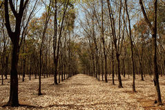 Rubber trees in Gia Lai Stock Image