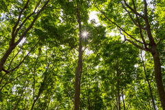 Rubber Trees Hevea brasiliensis Royalty Free Stock Photography