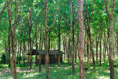 Rubber trees Stock Image