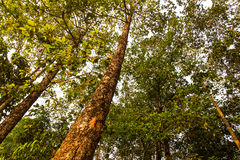 Rubber trees Royalty Free Stock Photos