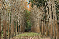 Rubber trees Royalty Free Stock Image