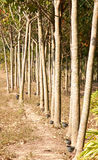 Rubber trees. Royalty Free Stock Photo