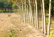 Rubber trees Stock Photo