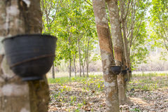 The rubber trees. Royalty Free Stock Images