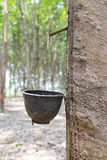 The rubber trees. The rubber trees,North of Thailand Stock Photography