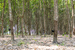 The rubber trees. Royalty Free Stock Image
