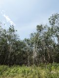Rubber trees plantation Royalty Free Stock Image