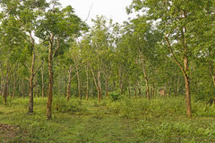 Rubber trees on a Plantation Royalty Free Stock Photography