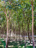 Rubber trees plantation Stock Images
