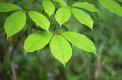 Rubber trees plantation Stock Photo