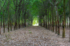 Rubber trees in row Stock Photos