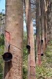 Rubber trees. Row of rubber trees in ko lanta island, thailand stock photo