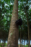 Rubber trees Stock Images