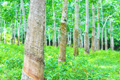 Rubber trees at rubber estate stock photos