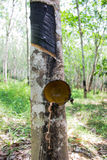 Rubber trees. Rubber trees in southern Thailand Royalty Free Stock Photography