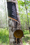 Rubber trees. Rubber trees in southern Thailand Stock Photos