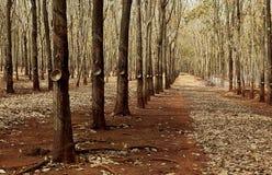 Rubber trees Stock Photo
