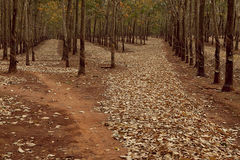 Rubber trees Royalty Free Stock Images