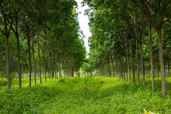 The Rubber trees. Royalty Free Stock Photography