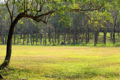 Rubber trees at Thailand Royalty Free Stock Image