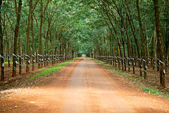 Rubber trees at Vietnam Royalty Free Stock Photography