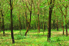 Rubber trees of the vilager Stock Photo