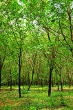 Rubber trees of the villager. Scenic landscape of rubber trees of the villager Royalty Free Stock Image
